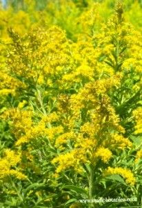 Glorious Goldenrod Tea~ wonderful health benefits - HOW to and WHY @ Studio Botanica