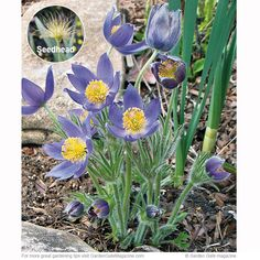 Beautiful native plant for Spring- pasqueflower. I have these in my garden and love them!