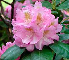 Rhododendron, 'Scintillation'--planted 4/2015--bought at BB Barns