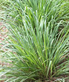 Citronella Grass | Grow these in your garden or plant them in a pot to keep the bugs away.