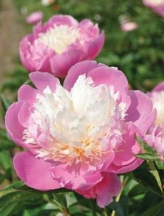 A deservedly popular Japanese variety with bright pink guard petals and pale lemon ribbonlike petaloids Free flowering Slightly scented Mid season Most Beautiful Flowers, Exotic Flowers, Pretty Flowers, Purple Flowers, Peony Flower, My Flower, Cactus Flower, Herbaceous Perennials, Perennial Plant