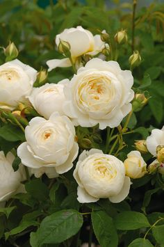 """'Claire Austin' 'Claire Austin' (Ausprior) has a strong myrrh fragrance with touches of meadowsweet, vanilla and heliotrope. David Austin Roses calls it their """"finest white rose to date."""" It is named for David Austin's daughter Claire."""