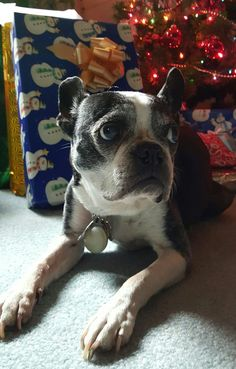 Boston Terrier pout. I was too a good girl! Kalie