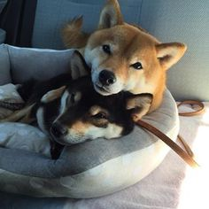 These two Shiba Inus are all about cuddling and love! Shiba Inu, Chien Akita Inu, Akita Puppies, Cute Puppies, Cute Dogs, Dogs And Puppies, Animals And Pets, Baby Animals, Cute Animals