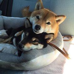 Cuddly Shiba Inus.