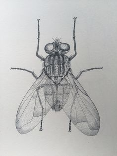 Grasshopper pencil drawing black and white insect sketch for Grasshopper tattoo supply