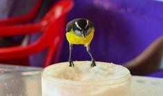 Pájaro Azucarero - Sugar Bird, Banaquit (Thraupidae family)