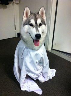 Siberian Husky in his Chef coat