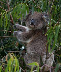 Koala Conservation Centre, Prince Phillip Island