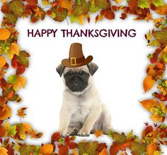 <<Visit the webpage to see more about pugs for sale near me. Click the link to find out more>> Our web images are a must see! Funny Thanksgiving Memes, Happy Thanksgiving, Cute Pug Puppies, Cute Pugs, Pugs For Sale, Puppies For Sale, Lancaster Puppies, Dog Wallpaper, Training Your Puppy