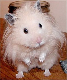 hamster, animals, cute, white