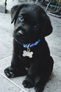 Cute little black lab puppy