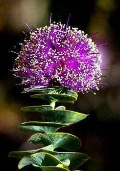 Eremaea violacea-это растение семейства миртовых