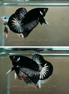 Plakat Betta: a short-tailed Betta. There are 3 sub-categories related to this… Pretty Fish, Cool Fish, Beautiful Fish, Betta Fish Types, Betta Fish Care, Colorful Fish, Tropical Fish, Aquariums, Poisson Combatant