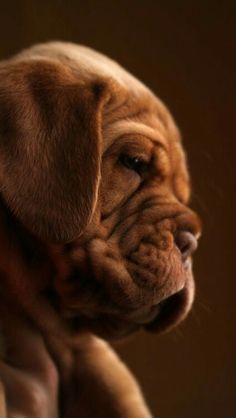 Dogue De Bordeaux Puppy Dogs Puppies French Mastiff - SO cute! Beautiful Dogs, Animals Beautiful, Cute Animals, Cute Puppies, Cute Dogs, Dogs And Puppies, Doggies, Big Dogs, I Love Dogs