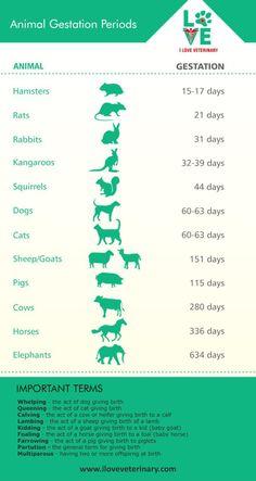 Animal Gestation Periods - I Love Veterinary- Animal Gestation Periods – I Love Veterinary Veterinary medicine infographic - Veterinary Studies, Veterinary Medicine, Veterinarian School, Veterinarian Quotes, Tier Zoo, Vet Tech Student, Vet Assistant, Animal Medicine, Pet Health