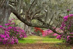 Magnolia Gardens ~ Charleston, SC - I'd like to get back here with Terry one day.