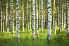 Birch Forest - Tapetit / tapetti - Photowall