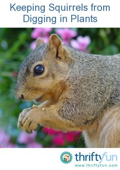 Squirrels have started digging in my melon pots, I'm going to give this a shot. This guide is about keeping squirrels from digging in plants. Squirrels can cause a lot of damage in plant containers and the garden. Plant Containers, Container Plants, Container Gardening, Gardening Tips, Garden Yard Ideas, Garden Landscaping, Privacy Landscaping, Backyard Ideas, Squirrel Repellant