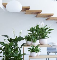 Le Spathiphyllum est la plante d'intérieur du mois