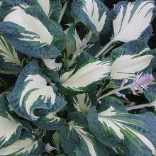 Hosta For Plantain Lily Hostas Plants Nursery Full