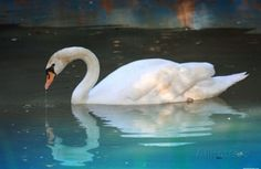 swan art | Swan (In Water, Reflection) Art Poster Print Masterprint