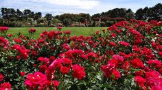 Melbourne Fresh Daily: 'MARIANDEL' ROSE AT THE STATE ROSE GARDEN