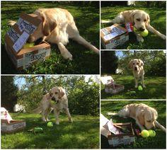 Frida - DoggieBag.no #DoggieBag #Hund #GoldenRetriver