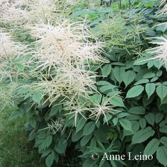 Isotöyhtöangervo *** Herbs, Plants, Herb, Planters, Plant, Spice, Planting