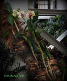 Orchid attached to a tree at the Opryland Hotel