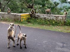 monkeys in northern india