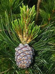 Edible Pine Nut Trees - Rhora's Nut Farm & Nursery