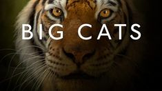 Big Cats (2018) HD Documentary Series Documentary series uncovering the secret lives of cats. Cats are naturally secretive, elusive and cryptic animals. Only now have the latest developments in filming technology, and a surge in cat research, enabled us to bring the cat superstars out of the shadows.
