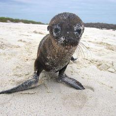 "Discovered by Rich Barton: ""Baby sea lion"" in Santa Cruz, Ecuador #cute"