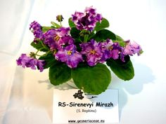 Saintpaulia RS-Sirenevyi Mirazh - A - 29 Noiembrie - 2 Decembrie 2012 - Expozitie de Violete Africane si alte Gesneriaceae - Gradina B