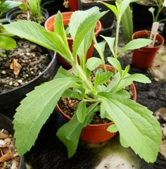 Sweet leaf is the name of the new natural sugar plant that recently hit the market. Here is a run-down on how to grow stevia rebaudiana from seed, and how to propagate it so that you have extra plants to use or give away. Growing Seeds, Herbs, Plants, Garden, Seeds, Herb Garden, Growing Stevia, Container Gardening, Planting Seeds