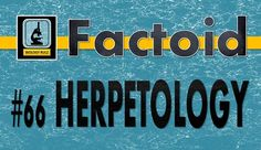 """Did you know: #Herpetology is the study of #reptiles & #amphibians. [Herpeto means """"to creep.""""] Reptiles & amphibians are known as #herpetofauna. Reptiles include #snakes, #lizards, #turtles, & #crocodilians. Amphibians include #frogs, #toads, #salamanders, #newts, & #caecillians. #Herpetologists (who practice herpetology) are interested in #ectothermic (animals that control their body temperatures by basking in the sun or seeking shade) #tetrapods (animals with 4-extremities) excluding…"""