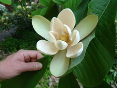 Magnolia officinalis biloba Deciduous Trees, Flowering Trees, Yellow Magnolia, Japanese Magnolia, Morton Arboretum, Endangered Plants, Magnolia Trees, Big Leaves, Natural Sleep