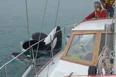 Killer whale investigates a boat