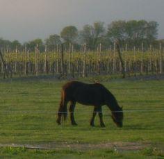 Vineyards Wines, Vineyard, Horses, Animals, Animales, Animaux, Horse, Words, Animal