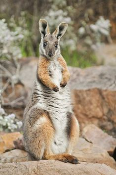 Yellow-footed Rock-wallaby by Australian Wildlife Conservancy Unique Animals, Animals Beautiful, Animals And Pets, Baby Animals, Funny Animals, Cute Animals, Exotic Animals, Cute Australian Animals, Strange Animals
