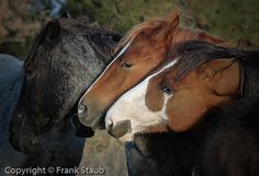 Wild Horses Nuzzling Black Hills Horse Sanctuary Hot Springs Sd