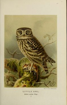 Little Owl, from Coloured figures of the birds of the British Islands /By Lilford, Thomas Littleton Powys, Baron, 1833-1896