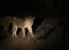 Watch As A Lone Porcupine Fends Off 17 Lions - Biology Safari Game, Lion Book, A Lone, Lion Pride, Male Lion, Interesting Animals, Game Reserve, Lions, Lonely