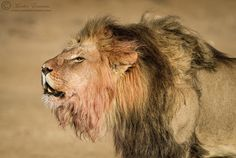 The King (World Lion Day) by Morkel Erasmus on 500px