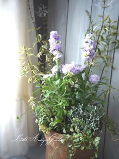 ストックと珍しい斑入りのキャッツウィスカー #シャビー#アンティーク#寄せ植え#antique#garden#rose#shabby