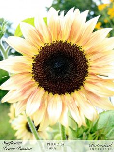 Sunflower Peach Passion Pollenless Seeds | Botanical Interests. High Quality Seed.
