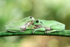 This Photographer Photographs Frogs Like You've Never Seen Before Pics) Whites Tree Frog, Animals And Pets, Cute Animals, Design Theory, Cute Frogs, Paludarium, Frog And Toad, Animal 2, Reptiles And Amphibians