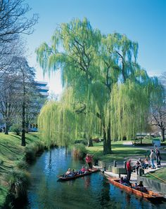 Willow Tree on River Avon in Christchurch,New Zealand