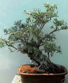Little gem boxwood bonsai bonsai univers pinterest for Bonsai olivo prezzi